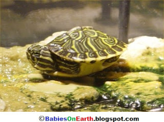 Baby Yellow-bellied Slider