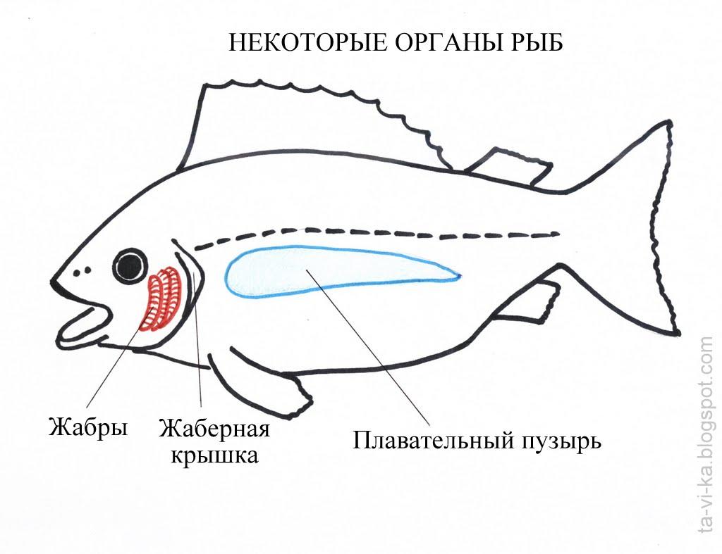 картинки жабер рыбы