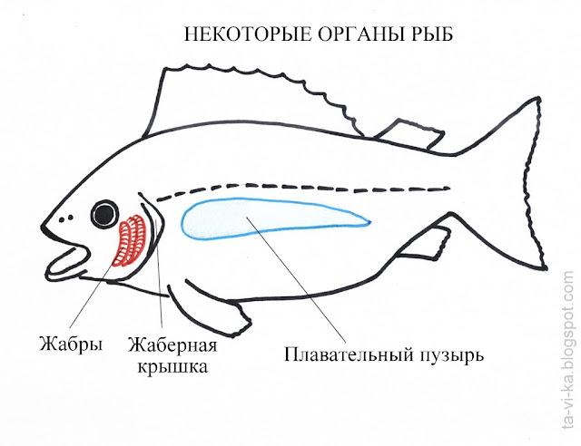 схема - органы рыб