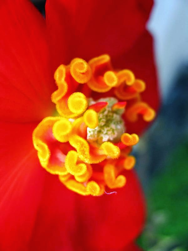 Close up of yellow stamens in a red flower
