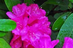 Rhododendronblüte...