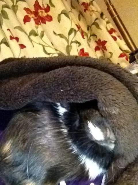 guinea pig peekaboo