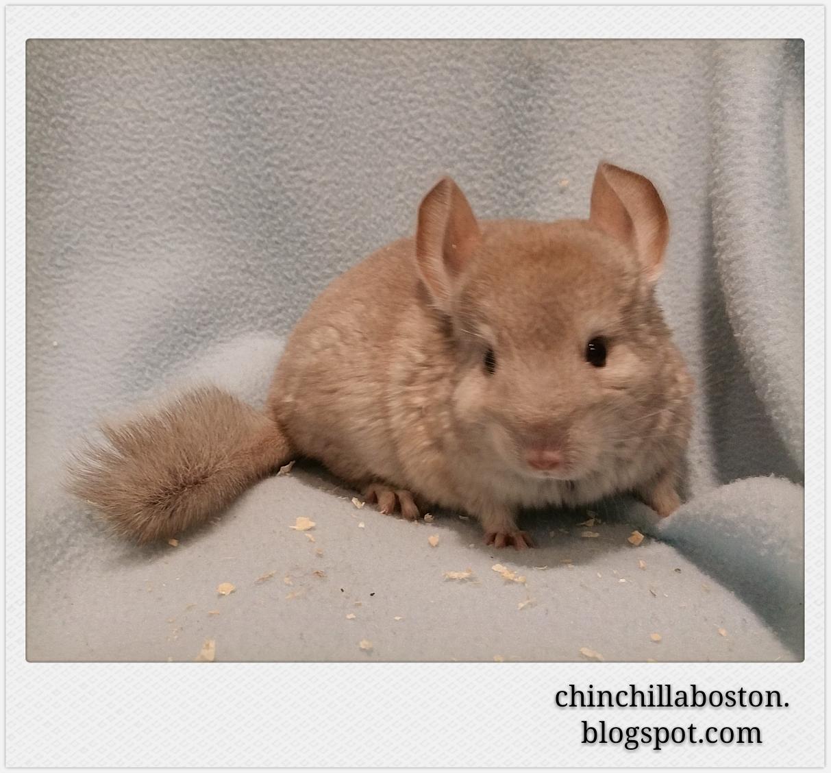 Chinchilla Boston: Adopted (Mooncake)