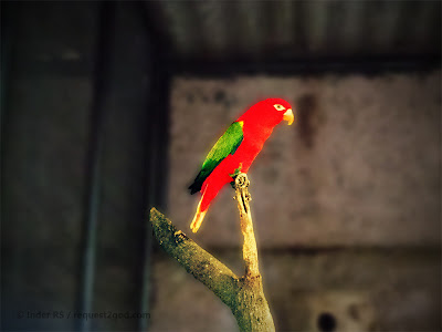 Birds, Chattering lory parrot