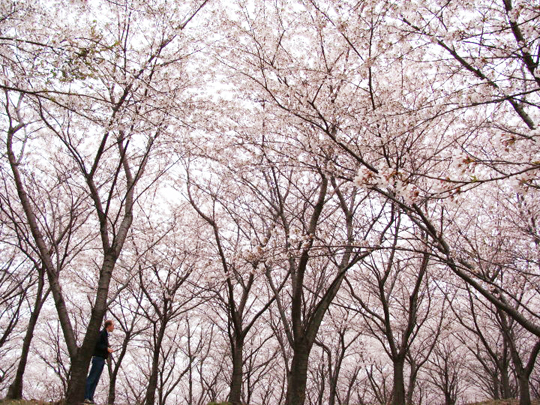 cherry blossoms Busan South Korea