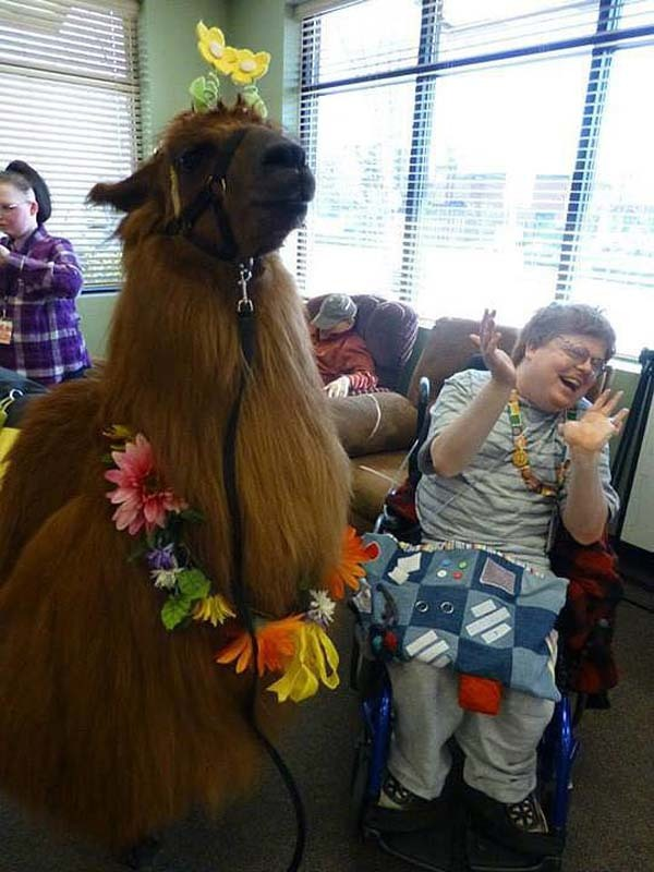This therapy llama spreading laughter.
