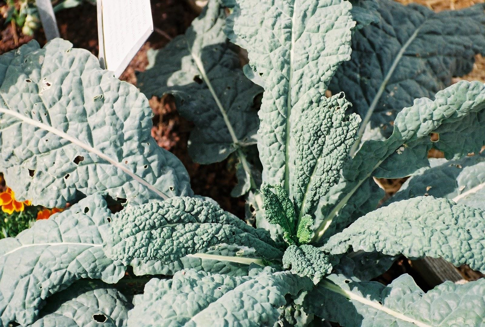 how to prepare lacinato kale