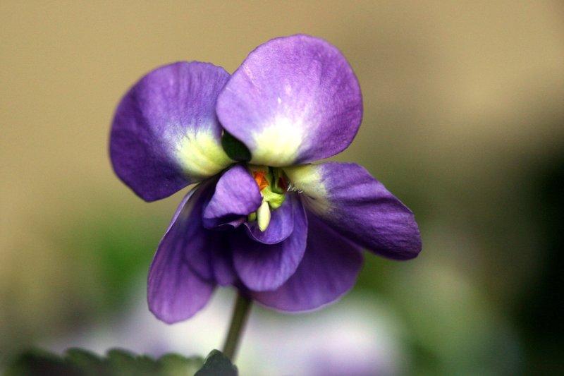 Scah blog les secrets de toulouse la violette en f te - Image fleur violette ...