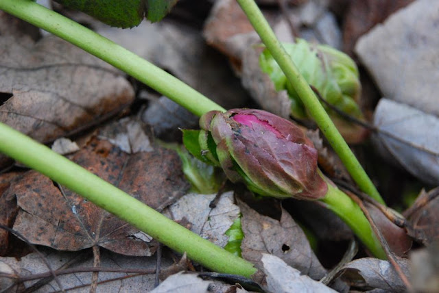  Hellebores orientalis bud hiding in the leaf litter 