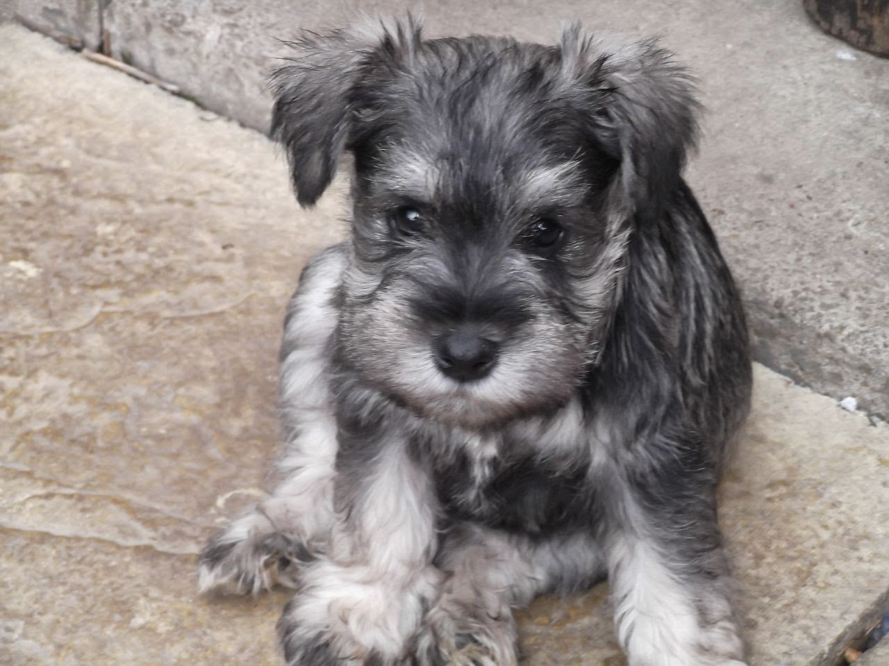 Bichon Frise Schnauzer Mix The mini schnauzer puppies are