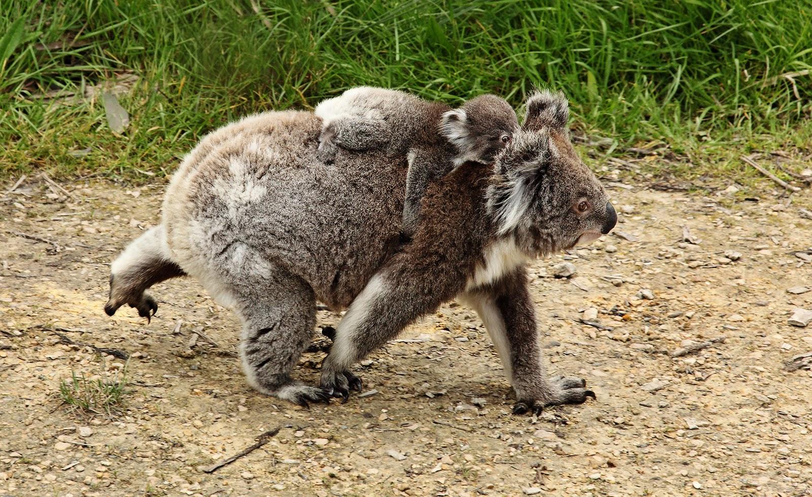Animal Keeper: Koala - Phascolarctos cinereus Zebra Weight