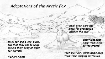 arctic fox research paper The arctic fox has a circumpolar distribution in all arctic tundra habitats it breeds north of and above the tree line on the arctic tundra in north america and eurasia and on the alpine tundra in fennoscandia, ranging from northern greenland at 88°n to the southern tip of hudson bay, canada, 53°n the southern edge of.