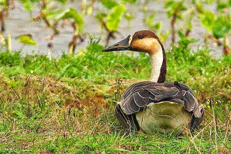 male, Swan Goose, lying