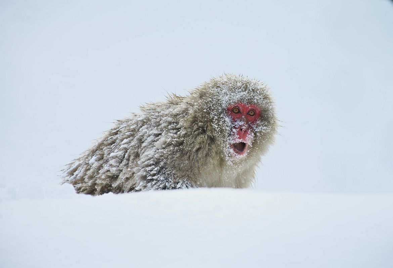 31. Snow Monkey