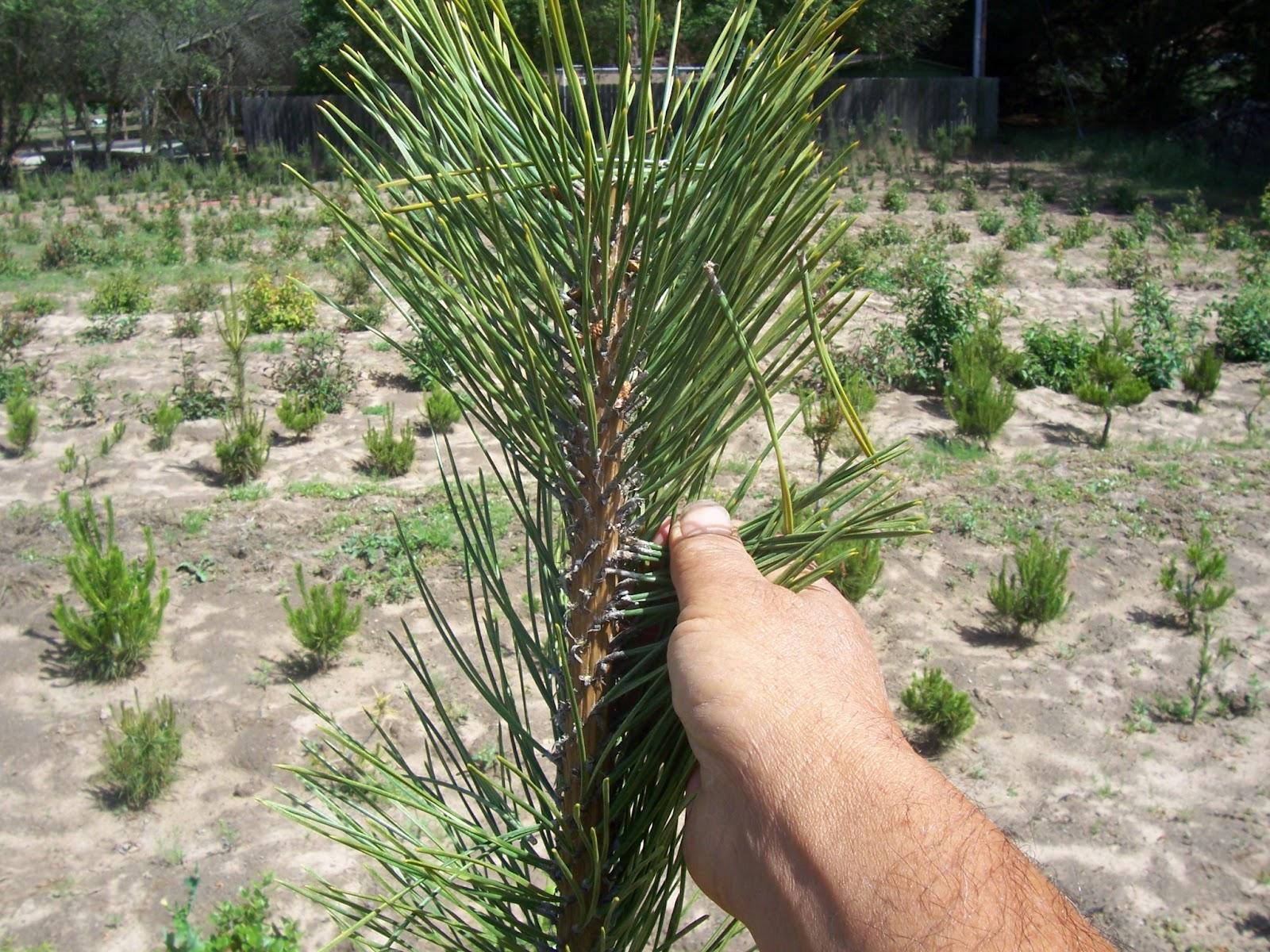 What39s Happening At Muranaka Bonsai Nursery Japanese Black Pine