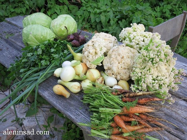 овощной натюрморт, свекла, морковь, лук, петрушка, капуста, белокочанная, цветная, аленин сад, урожай