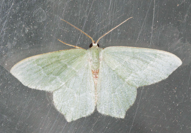 Moth, Common Emerald, Hemithea aestivaria.  Keston Common moth trap, 2 July 2011.