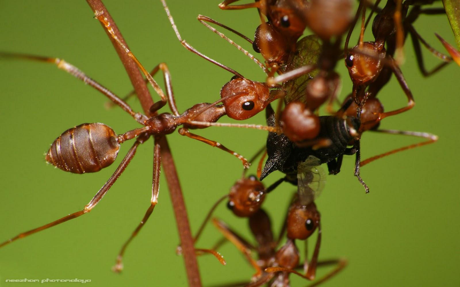 Kerengga makan treehopper