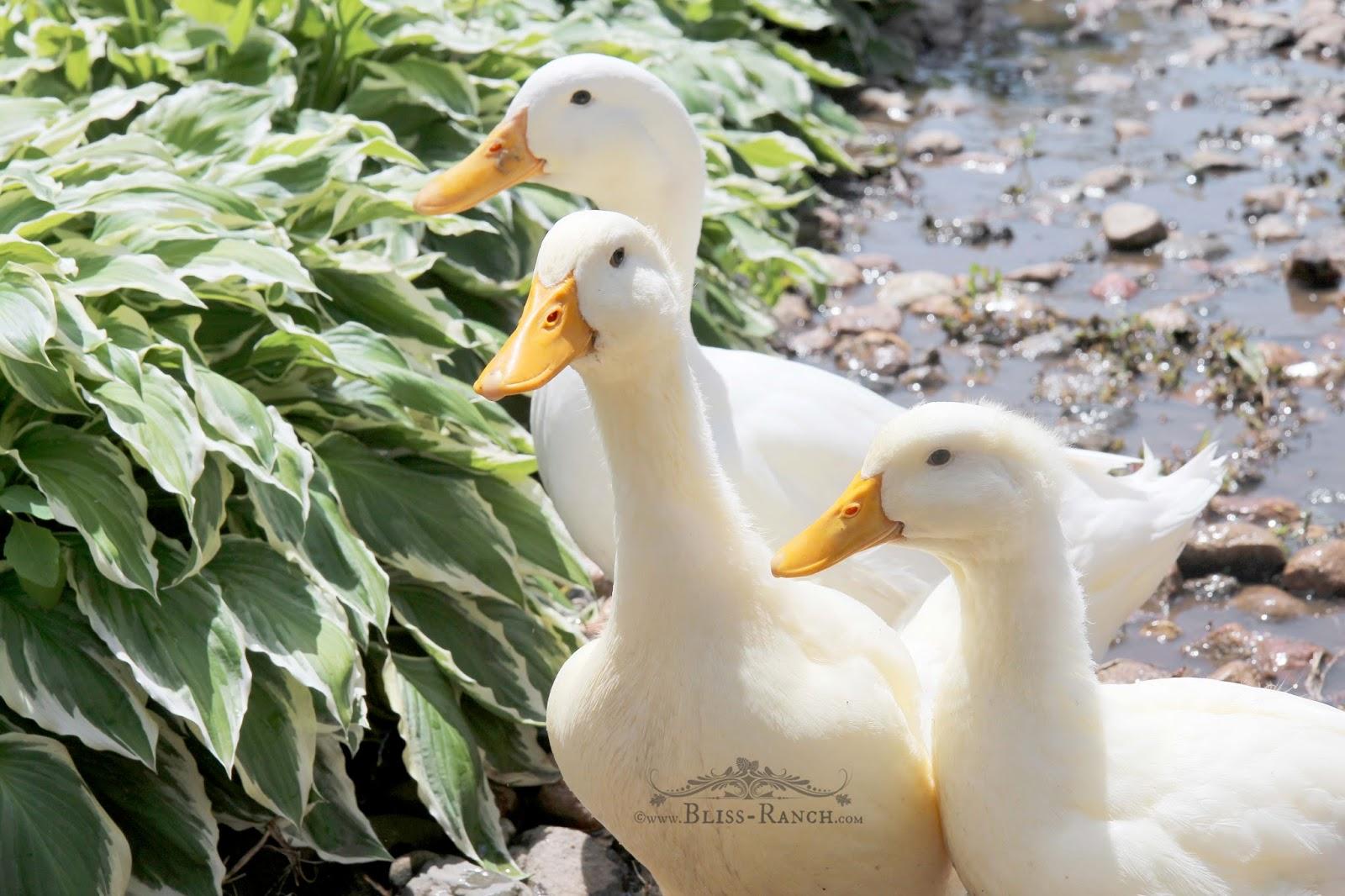Ducks Bliss-Ranch.com