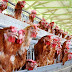 Warga Diminta Waspada Flu Burung