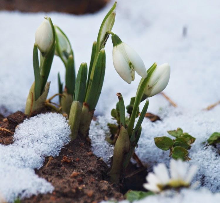Vintergækker i sne