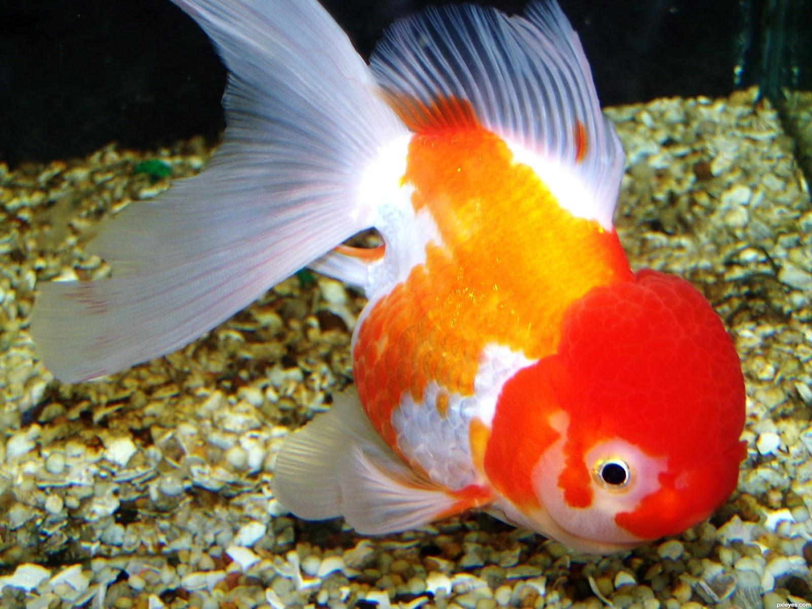 Pirana aquarium l 39 animale domestico pi diffuso al mondo for Dove comprare pesci rossi