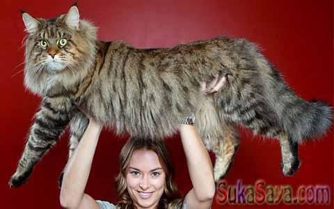 Inilah 4 Kucing Terbesar Di Dunia