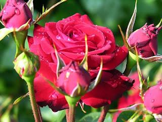 Rosas y capullos rojos