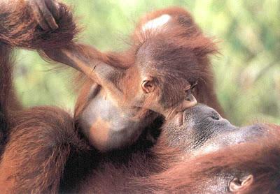 Animal Kiss Picture Chimpanjee