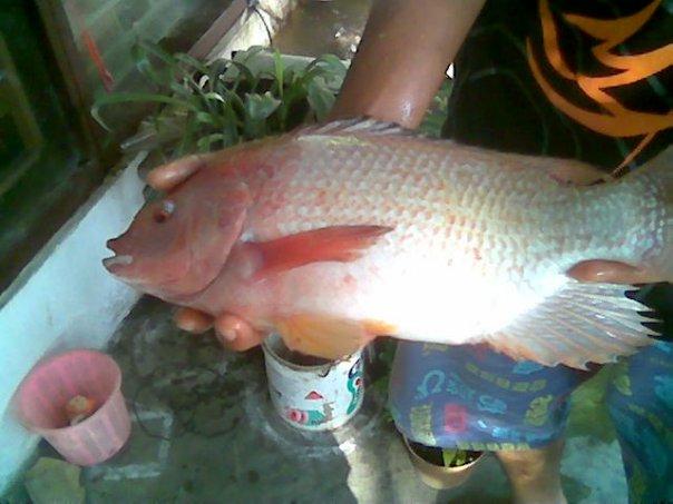 Mancing Ikan Mas Related Keywords - Mancing Ikan Mas Long
