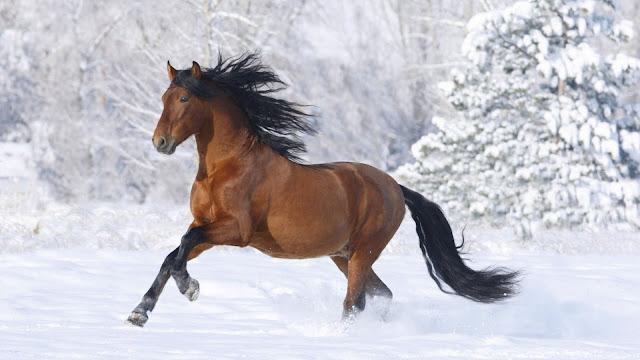 Arabian Beautiful Thoroughbred Horse