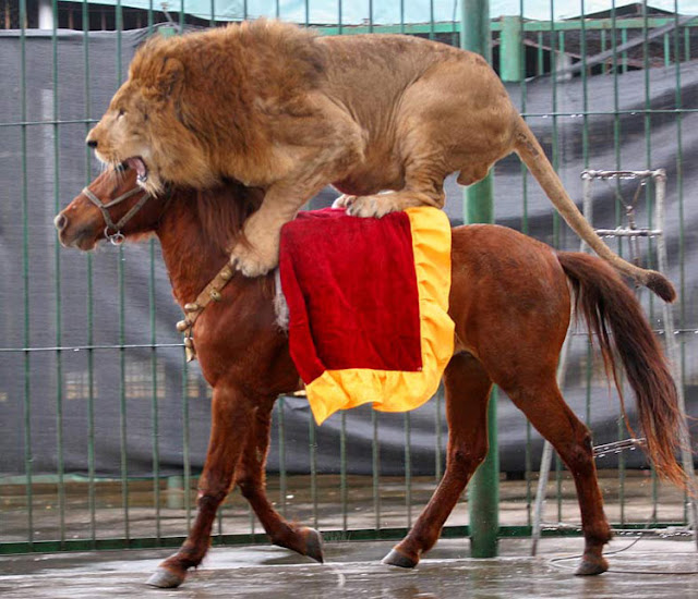 Lion Riding in Horse