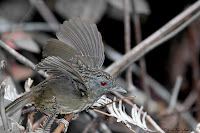 Streaked Wren Babbler