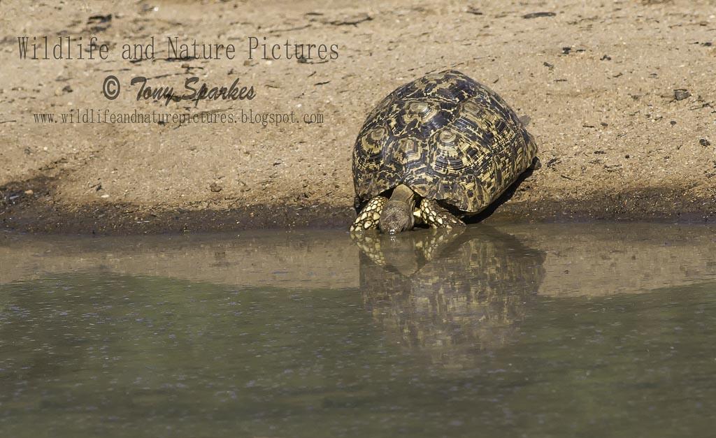 Leopard Tortoise (Stigmochelys pardalis) drinking water