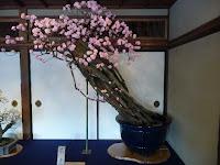 八重咲き紅梅の老木「不老」は、樹齢400年、最も歳を重ねる姿に不老長寿を感じさせた