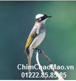 Chim Chao Mao, Chim Chao Mao Bach Dau Ong