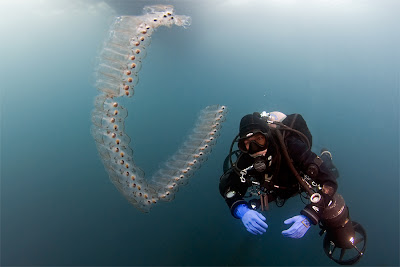 Sea Salps