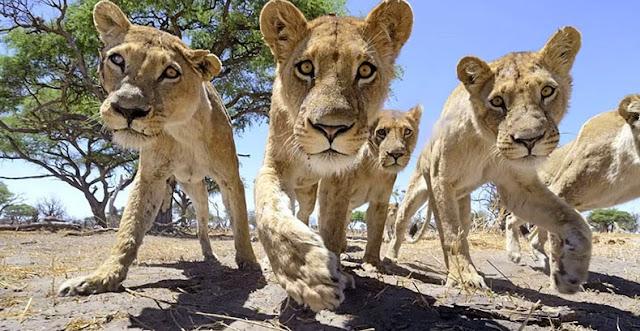 cámara en carrito controlado a control remoto primer plano leones en Botswana