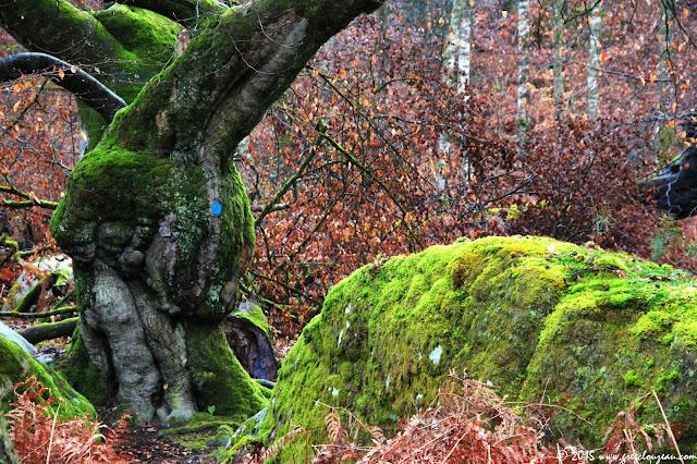 Hêtre Fourchu, sentier bleu, Gorges d'Apremont (C) 2015 Greg Clouzeau