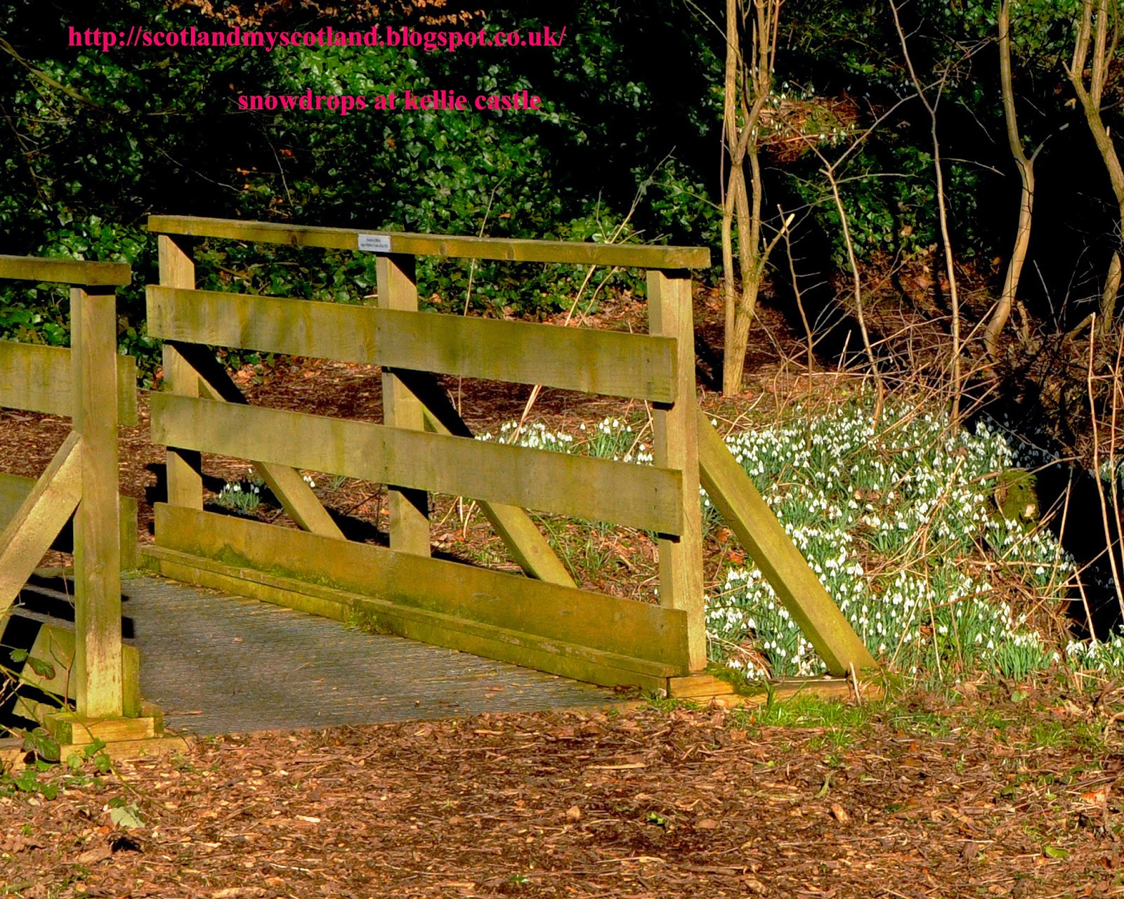 wood footbridge and snowdrops