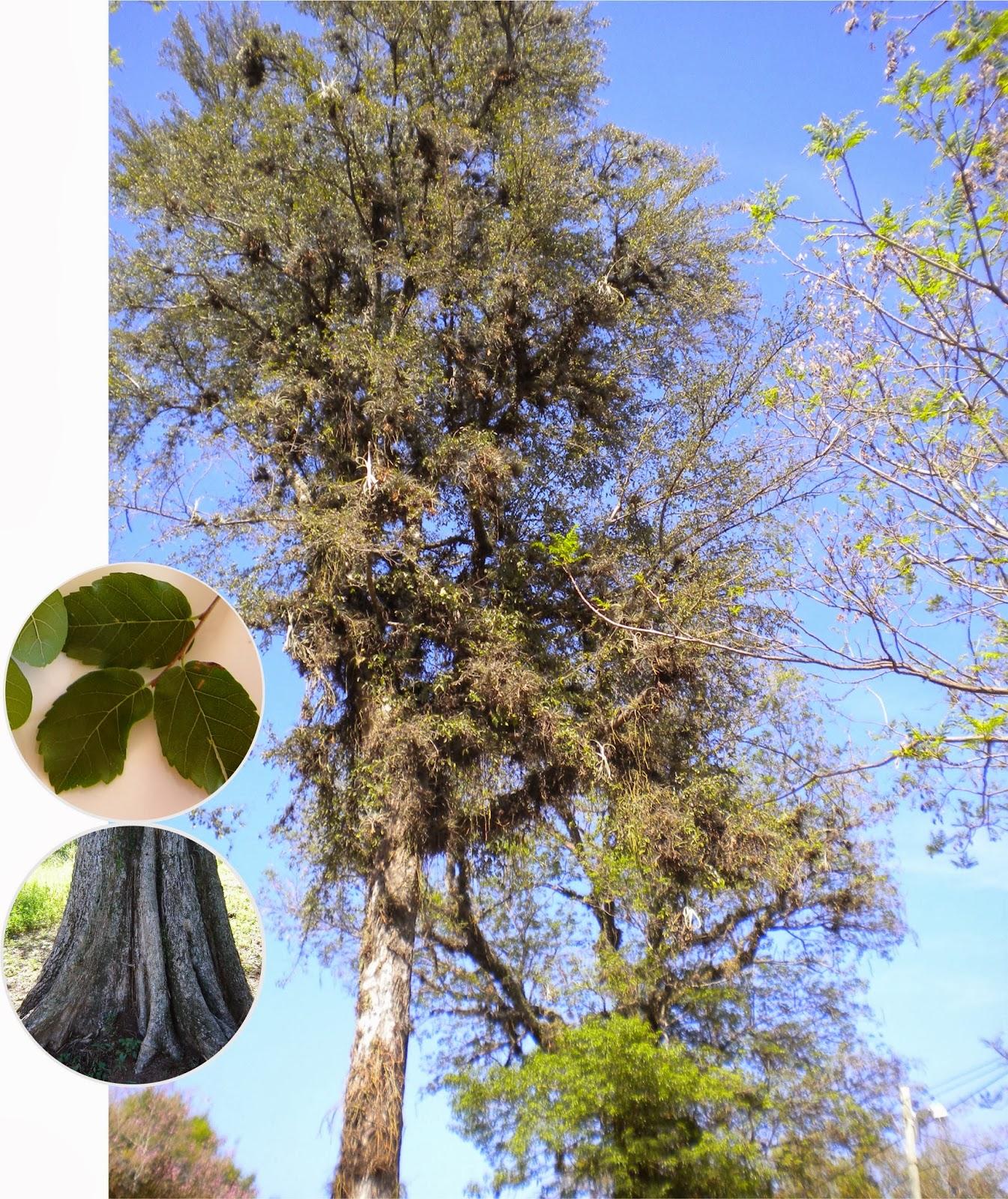 V e r d e c h a c o palo lanza juasy y guasu cuta for Arboles perennes en argentina
