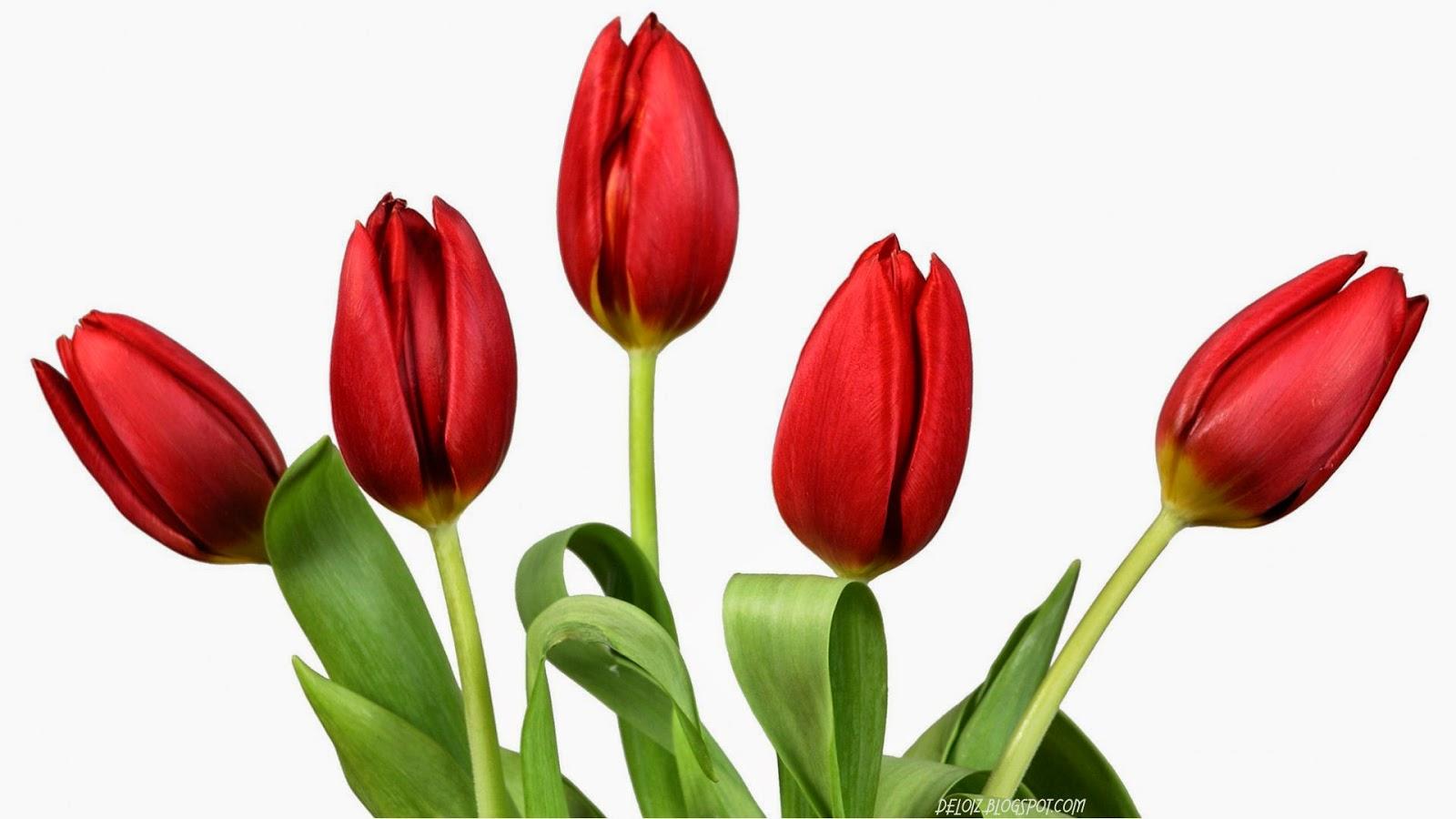 pin lukisan bunga red tulip images genuardis portal on