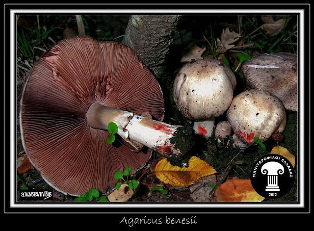 Agaricus benesii (Pilát) Pilát