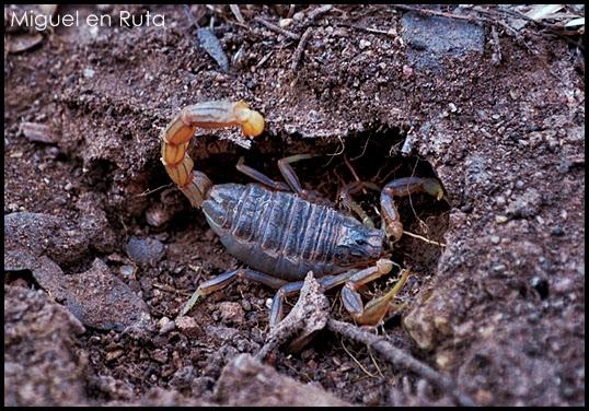 Buthus-Ocitanus-escorpión común