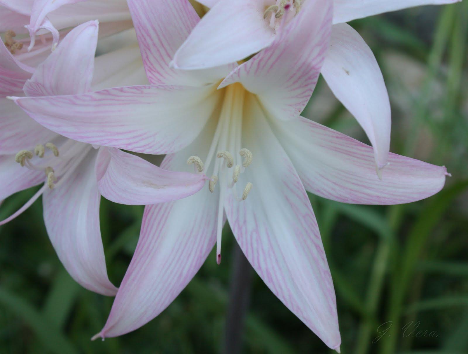 Un jard n en m laga amaryllis belladonna for Garder un amaryllis