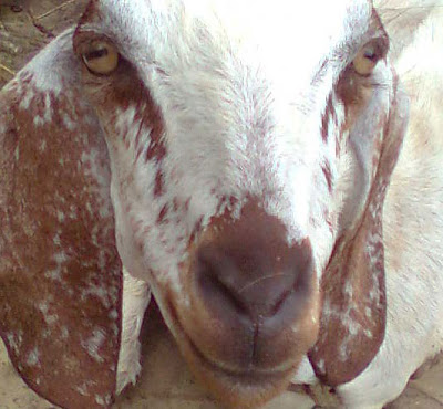 Face of the Goat