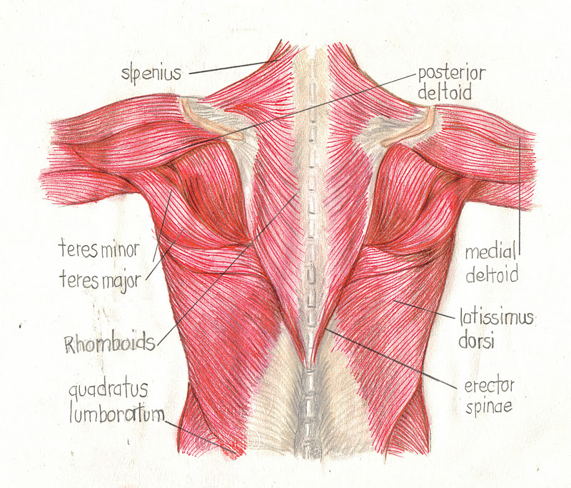 Awesome Muscles Of The Shoulder And Back Adornment - Human Anatomy ...