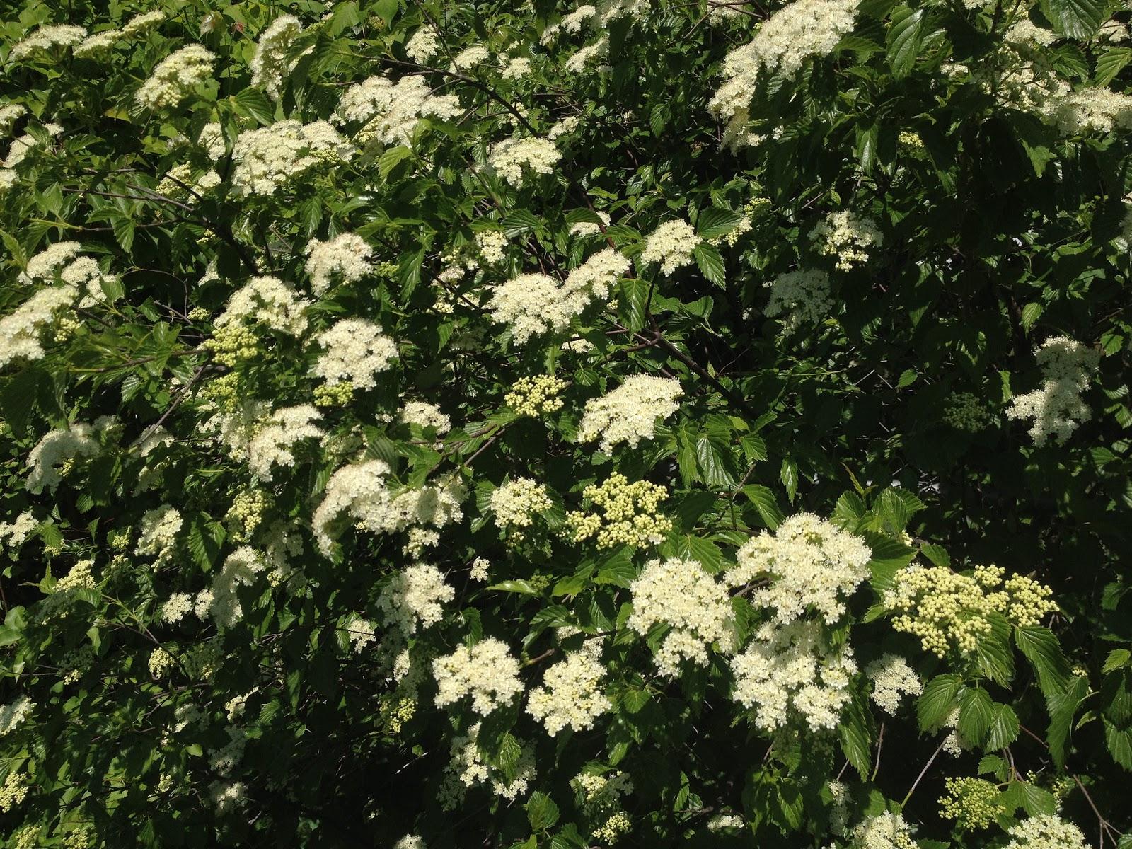 nature in humanity  monthly native plant profile   1 arrowwood viburnum  viburnum dentatum