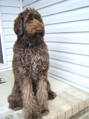 Alfie, his coat getting shaggy for the winter, sits on the front step