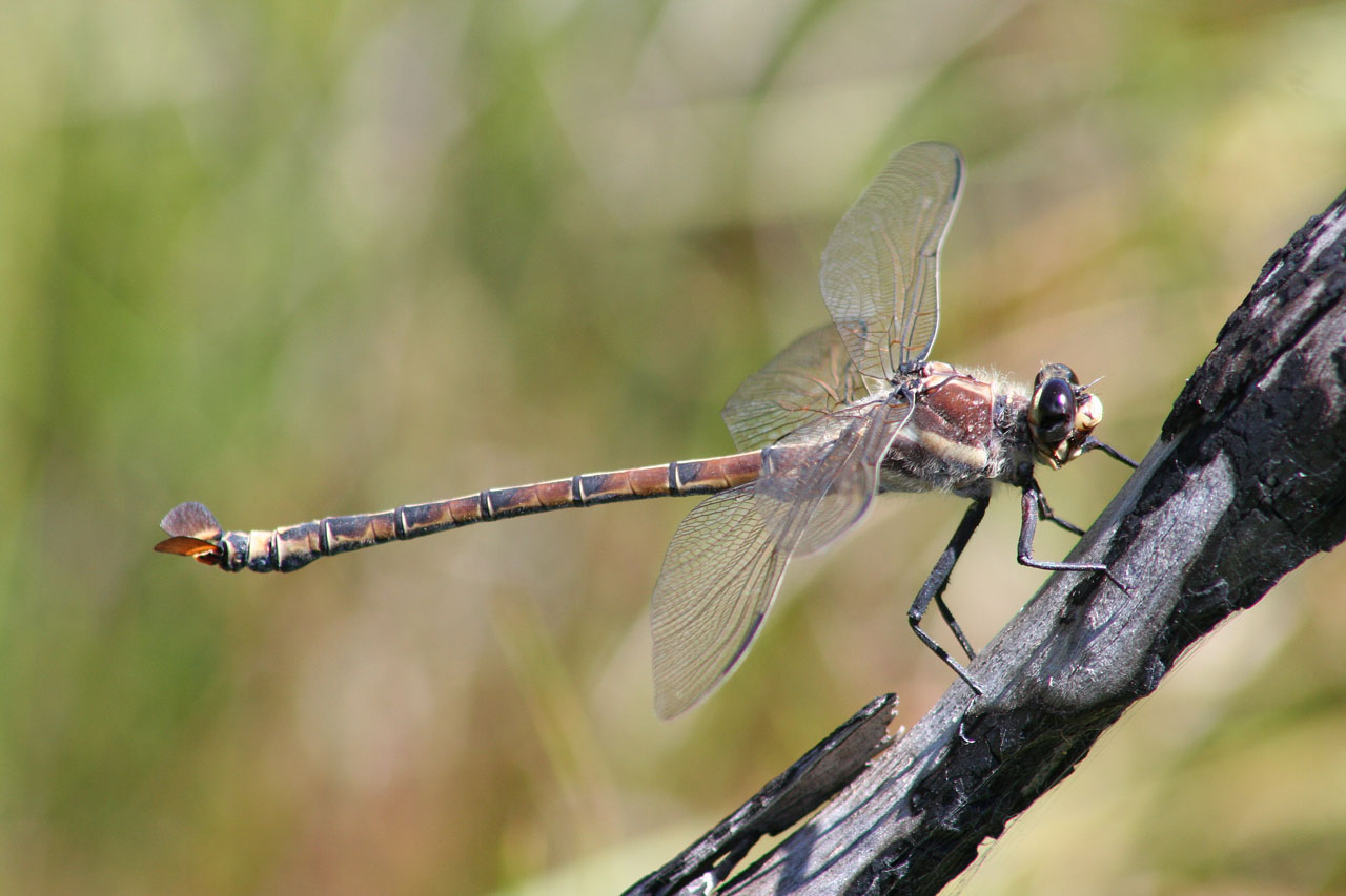 Giant dragonfly - photo#9